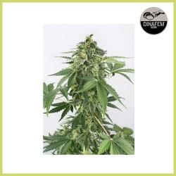 Haze Auto (Dinafem Seeds)
