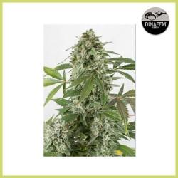 White Widow Auto (Dinafem Seeds)