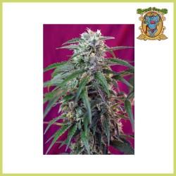 Green Poison Auto (Sweet Seeds)