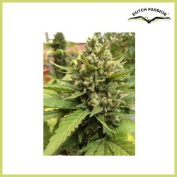 AutoBlueberry (Dutch Passion Seeds)