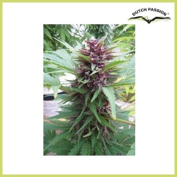 AutoFrisian Dew (Dutch Passion Seeds)
