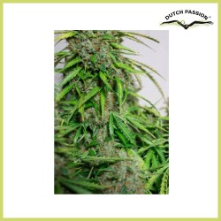 AutoMazar (Dutch Passion Seeds)