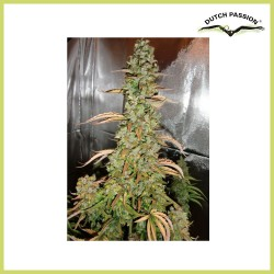 AutoXtreme (Dutch Passion Seeds)
