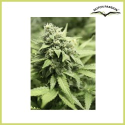 StarRyder Auto (Dutch Passion Seeds)