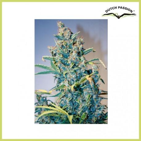 Tundra 2 (Dutch Passion Seeds)
