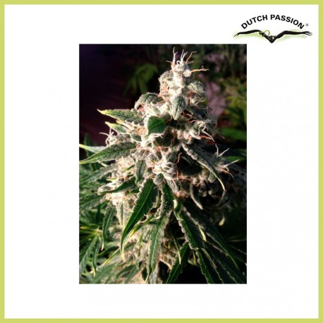 Think Different (Dutch Passion Seeds)