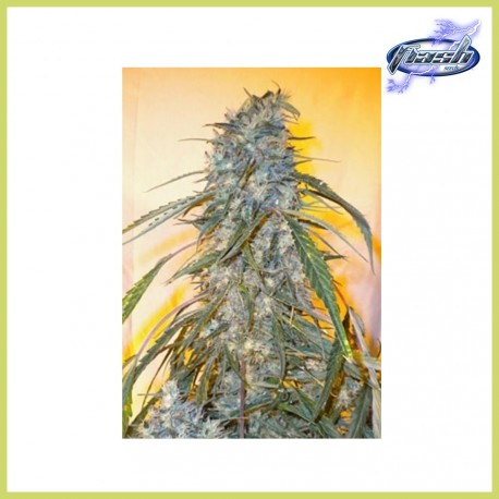 Annapurna Auto (Flash Seeds)