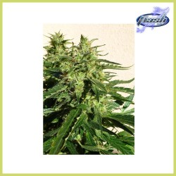 Chaze Auto (Flash Seeds)
