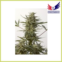 Critical 47 Express (Positronics Seeds)