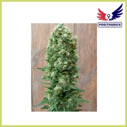 Jack Diesel Express (Positronics Seeds)