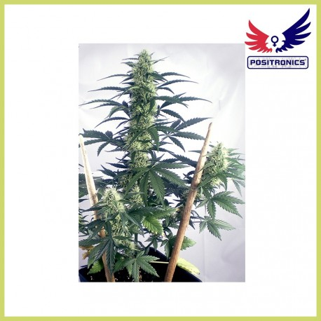 May Day Express (Positronics Seeds)