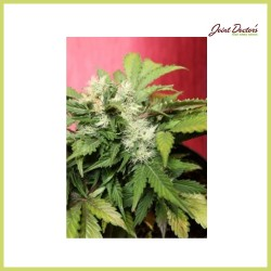 Betty Boo (Joint Doctor's)