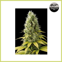 Shark Shock CBD (Dinafem Seeds)