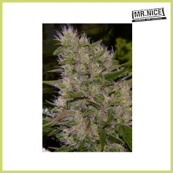 Critical Mass (Mr. Nice Seeds)