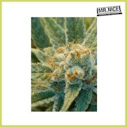 Super Silver Haze (Mr. Nice Seeds)