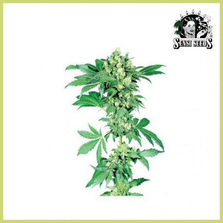 Afghani 1 (Sensi Seeds)