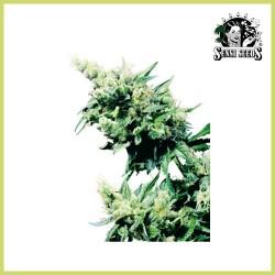Hash Plant (Sensi Seeds)
