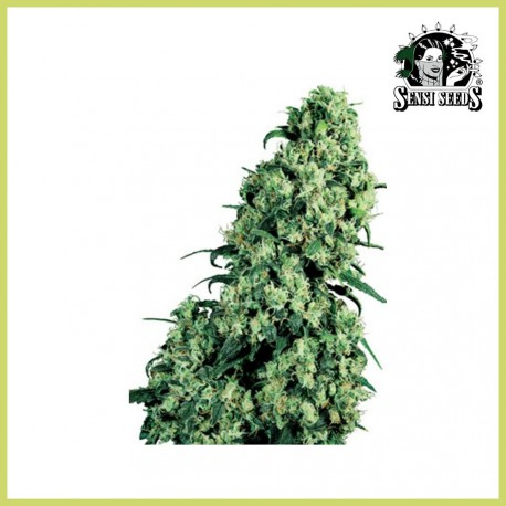 Skunk nº 1 (Sensi Seeds)