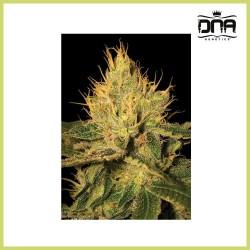 Cannalope Haze (D.N.A. Genetics)