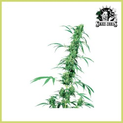 Fruity Juice (Sensi Seeds)