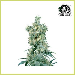 American Dream (Sensi Seeds)