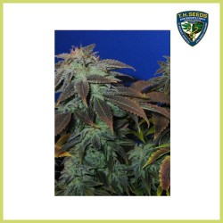 Heavy Duty Fruity (T.H. Seeds)