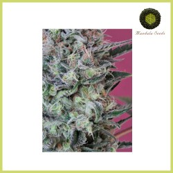 Krystalica (Mandala Seeds)
