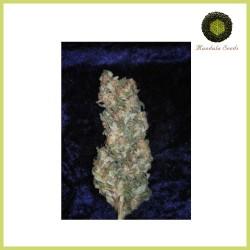 Rishi Kush (Mandala Seeds)