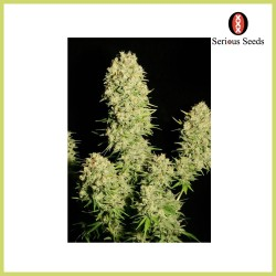 Chronic (Serious Seeds)