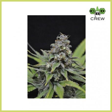 CBD Critical Mass (CBD Crew)