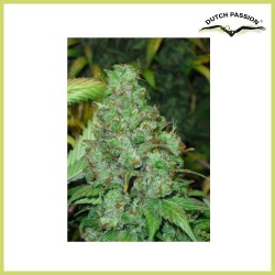 Orange Hill Special (Dutch Passion Seeds)