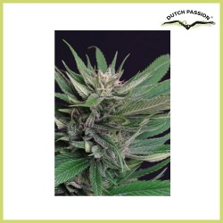 Perplex (Dutch Passion Seeds)