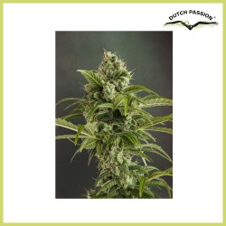 Autoeuforia (Dutch Passion Seeds)