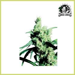 Silver Haze 9 (Sensi Seeds)