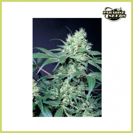 Amsterdam Flame (Paradise Seeds)