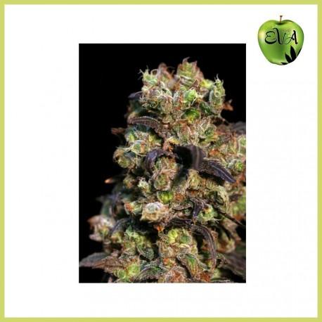 Pink Plant (Eva Seeds)