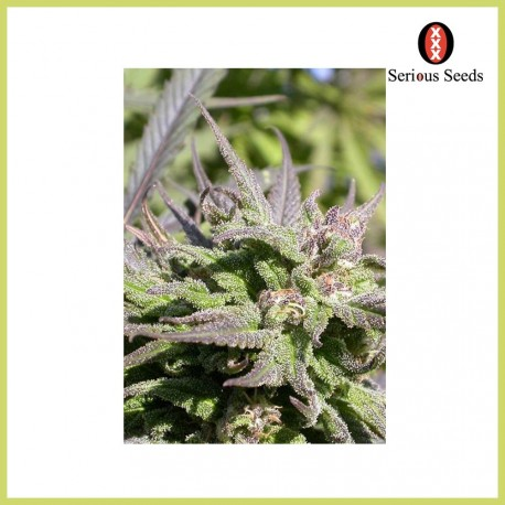 Biddy Early (Serious Seeds)