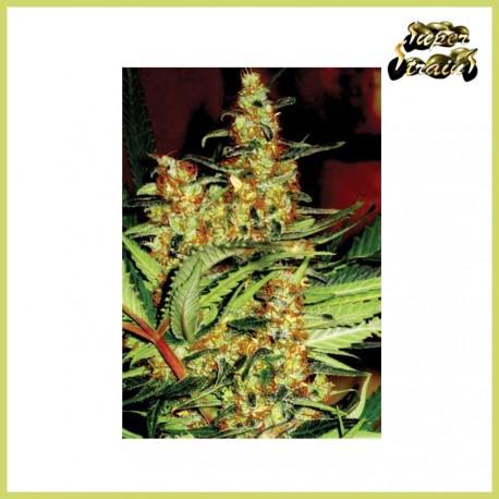 Amajikoym (Super Strains Seeds)