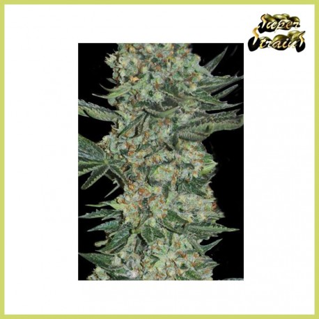 Enemy of the State (Super Strains Seeds)
