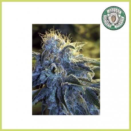 N.Y.C. Diesel (Soma Seeds)
