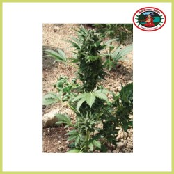 Super Automatic Sativa (Big Buddha Seeds)