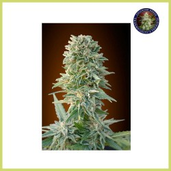 Jack Herer Auto (Advanced Seeds)