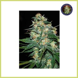 Skunk 47 (Advanced Seeds)