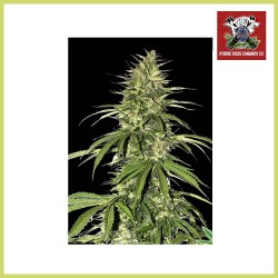 High Ryder Auto Super Big (Xtreme Seeds)