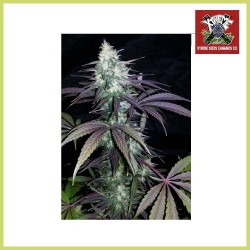 High Mass Auto Super Big (Xtreme Seeds)