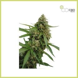 CBD Bubba Kush (CBD Botanic)