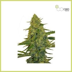 CBD Chem Dawg (CBD Botanic)