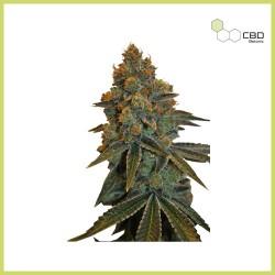 CBD D. Diesel (CBD Botanic)