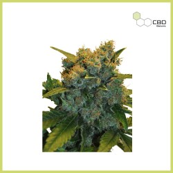CBD Sensi Star (CBD Botanic)