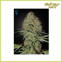 Super Bud Auto (Green House)